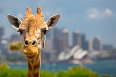 Taronga Zoo Giraffes Royalty Free Stock Photo