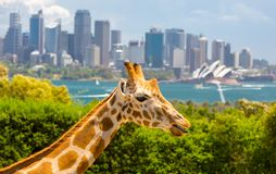 Taronga Zoo Giraffes Stock Photos
