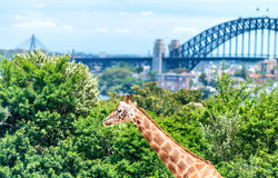 Taronga Zoo, Sydney. Giraffe and city background.  Stock Photography