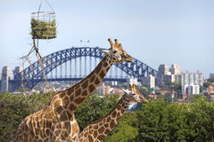 Taronga zoo in Sydney. Taronga zoo giraffes with Harbour Bridge in background, Sydney Stock Images
