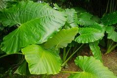 tarosidor, schott för Araceaecolocasiaantiquorum Arkivbild