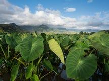 Taroväxter i den Hanalei dalen i Kauai Arkivbilder