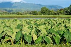 Taroväxter i den Hanalei dalen i Kauai Arkivfoto