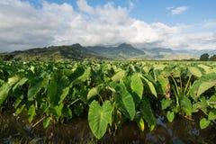 Taroväxter i den Hanalei dalen i Kauai Fotografering för Bildbyråer