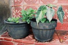 taroväxter som smyckar trädgården av huset royaltyfri bild