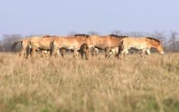 tarpan άγρια περιοχές αλόγων στοκ φωτογραφίες