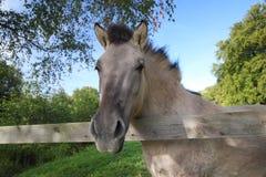 Tarpan at a fence Stock Photography