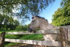 Tarpan at a fence Royalty Free Stock Photo