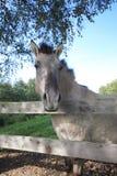 Tarpan at a fence Royalty Free Stock Image