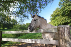 Tarpan at a fence Stock Photos