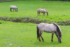 3 Tarpan hästar Royaltyfria Bilder