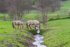 2 Tarpan hästar Arkivfoto
