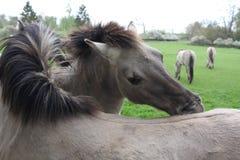 Tarpan horses grooming eachother royalty free stock photo