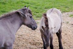 Tarpan koń obraz stock