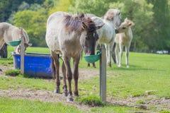 Tarpan koń zdjęcie stock