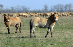tarpan wild för häst Arkivbild