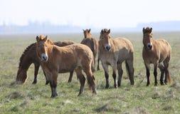 tarpan wild för häst Arkivbilder