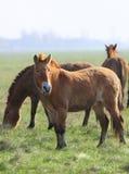 tarpan wild för häst Royaltyfria Bilder