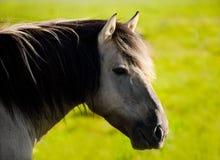 (Tarpan) wild paard Stock Foto's