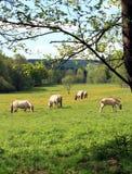 Tarpans em um prado Imagem de Stock