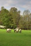 Tarpans en un prado Imagenes de archivo