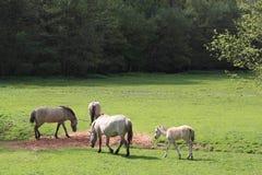 Tarpans en un prado Foto de archivo libre de regalías