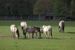 Tarpanwild paarden Stock Afbeelding