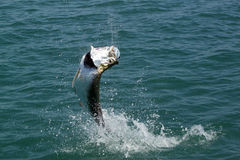 Tarpón de salto - pesca de mosca Imagen de archivo libre de regalías