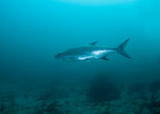 Tarpon Stock Photo
