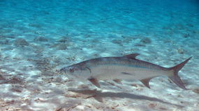 Tarpon in Bonaire Stockbild