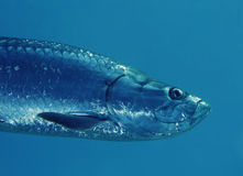 Tarpon Close-up Royalty Free Stock Photo