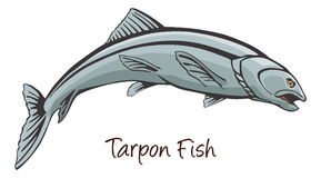 Tarpon, Color Illustration Stock Image