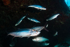 Tarpon on a coral reef Stock Photography