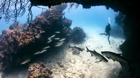 Tarpon dans une petite caverne avec le plongeur autonome Photographie stock