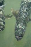 Tarpon Fish at the Florida Keys. Large tarpon game fish at Islamorada in the Florida Keys royalty free stock photos
