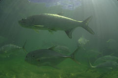 Tarpon fish and Jack fish swimming Royalty Free Stock Photo