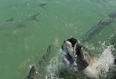 Tarpon fish jumping Royalty Free Stock Photography
