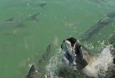 Tarpon fish jumping royalty free stock photography