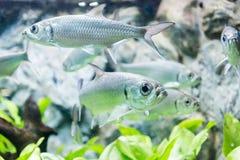 Tarpon Indo-Pacific or Megalops cyprinoides fish Royalty Free Stock Photo