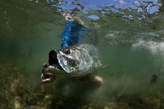 Tarpon Release Underwater royalty free stock images