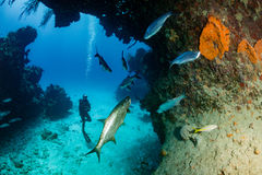 Tarpon in a small cave with SCUBA Diver. Tarpon under an overhang on a tropical coral reef Royalty Free Stock Images