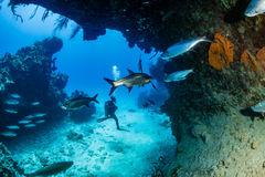 Tarpon in a small cave with SCUBA Diver. Tarpon under an overhang on a tropical coral reef Royalty Free Stock Image