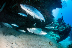 Tarpon in a small cave Stock Image