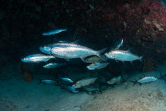 Tarpon in a small cave Royalty Free Stock Photo