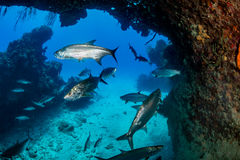 Tarpon in a small cave Royalty Free Stock Photos