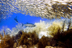 Tarpon under schooling Bigeye Scad - Megalops atlanticus, Selar crumenophthalmus Stock Images