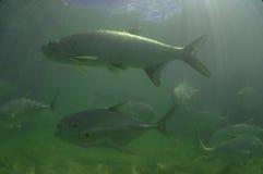 Tarponfische und Jack-Fischschwimmen Lizenzfreies Stockfoto