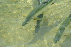 Tarpons (Megalops atlanticus) w płytkim nawadniają Fotografia Stock