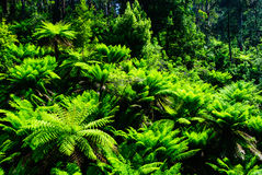 Tarra bulga fern forest Royalty Free Stock Image