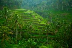 Tarrace de riz sur Bali, Indonésie. Image libre de droits